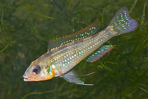 Biotoecus