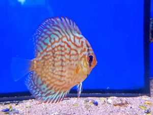 discus-rood-turquoise